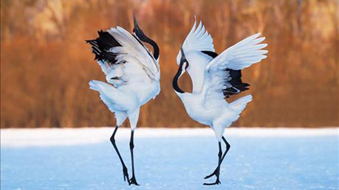Biểu tượng của sự trường thọ trong phong thủy là Chim Hạc